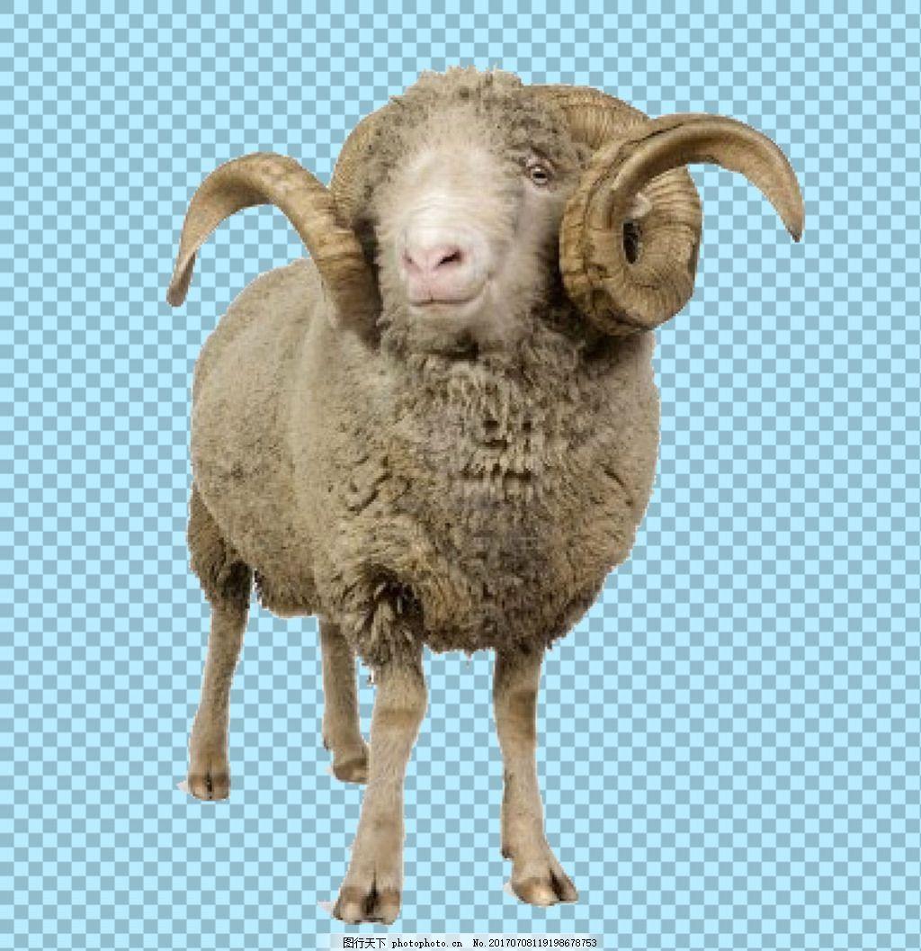 一只公绵羊图片免抠png透明图层素材 动物图片大全 可爱动物图片 家禽