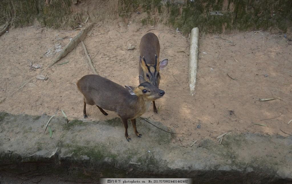 小鹿 可爱小鹿 土地 动物园 广州长隆 梅花鹿 鹿茸 摄影作品 摄影
