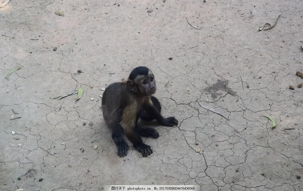 小猴子 黑尾猴 无辜 动物园 仰望 悲惨 小可怜 黑色的猴子 齐天大圣