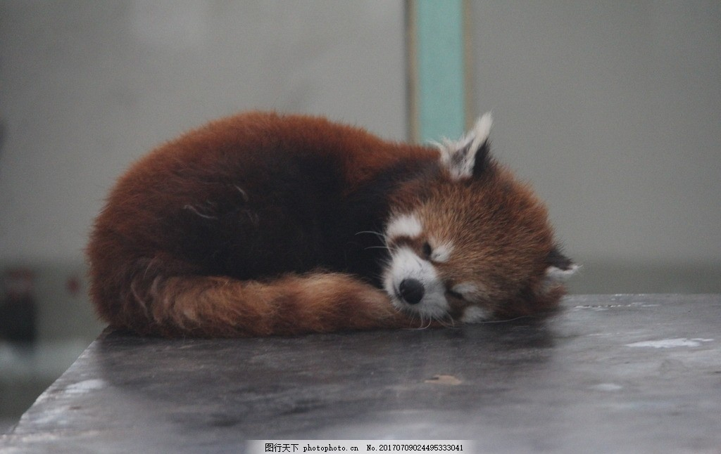 小熊猫睡觉 熊猫馆 动物园 天津动物园 珍稀动物 动物世界 摄影