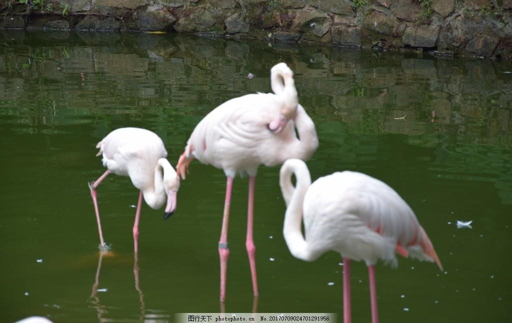 白鹤,广州动物园 鸟 高清鸟图 丹顶鹤 火焰鸟 摄影-图