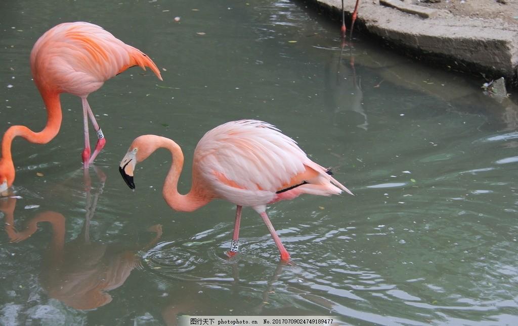 火烈鸟 火鸟 大鸟 动物 动物园 天津动物园 动物世界 摄影