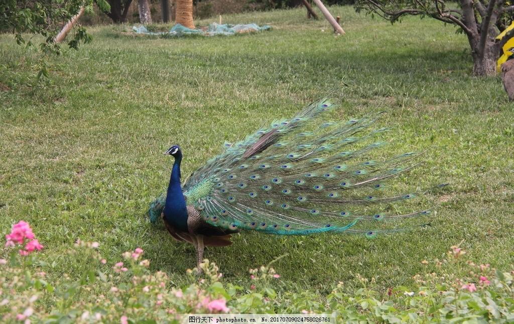大孔雀 孔雀 大鸟 飞鸟 鸟类 动物 动物园 动物世界 摄影 生物世界