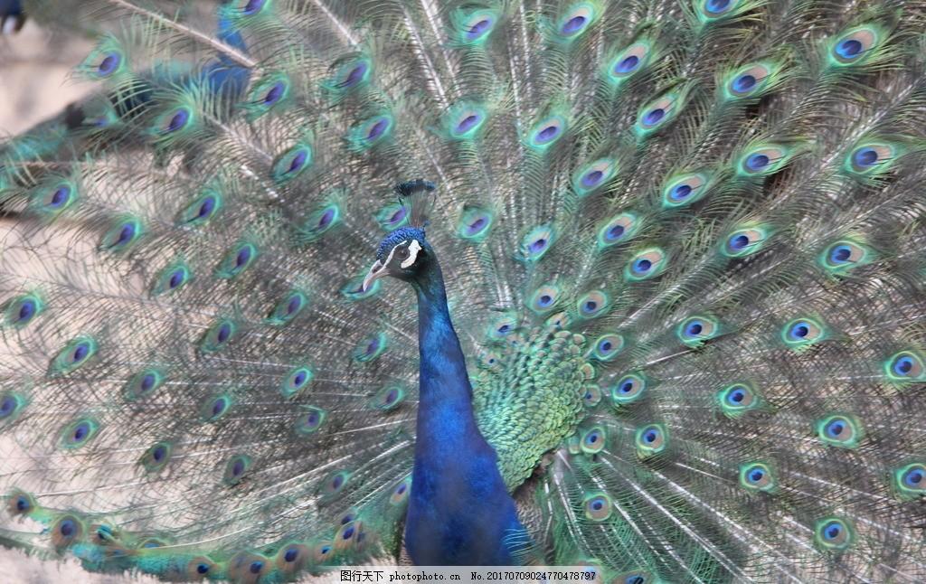 孔雀 大鸟 飞鸟 鸟类 动物园 动物 孔雀开屏 孔雀羽毛 羽毛 花羽 天津