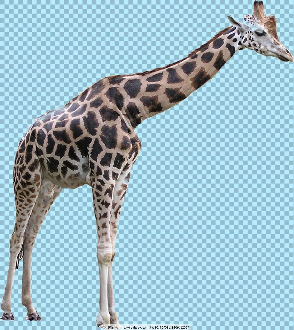 站着的长颈鹿免抠png透明图层素材 野生动物 可爱动物图片 家禽 家畜