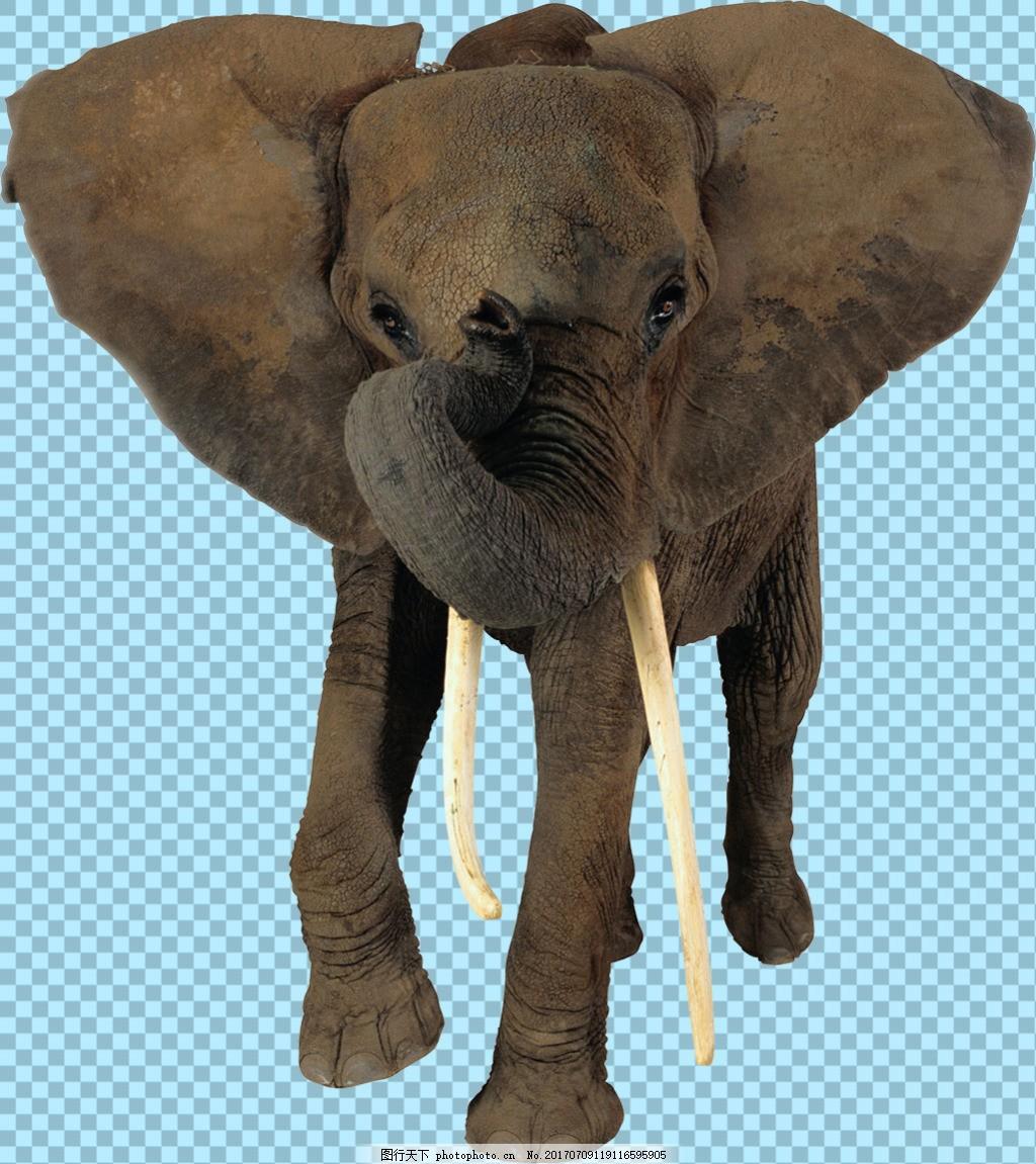 大象正面图片免抠png透明图层素材 野生动物 可爱动物图片 家禽