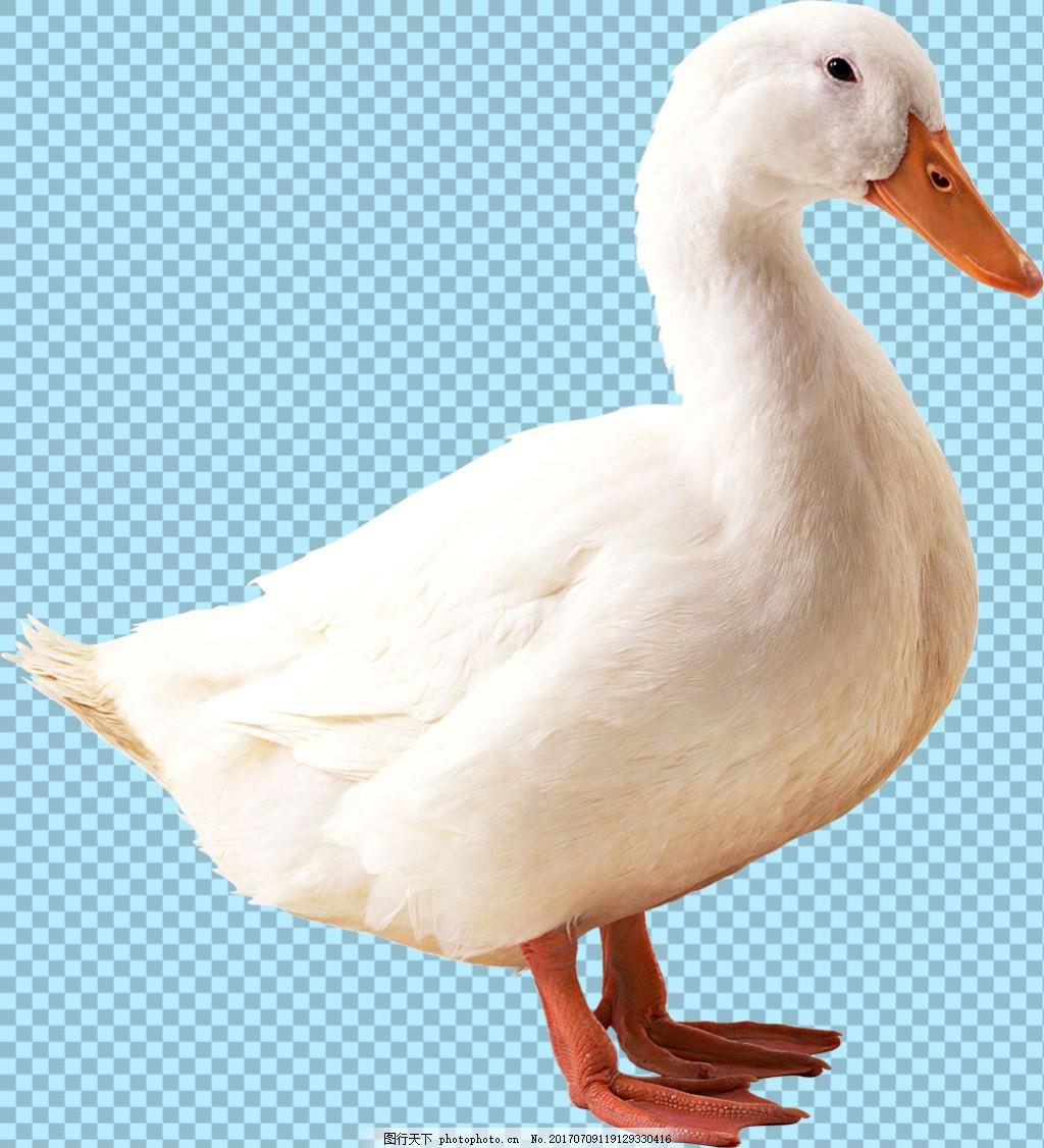 鸭子免抠png透明图层素材 鸟类动物 可爱动物图片 家禽 家畜 动物大全