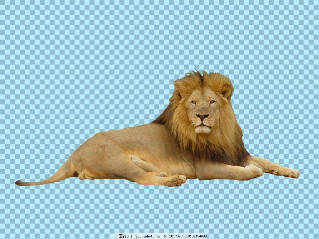 趴地上休息的狮子免抠png透明图层素材