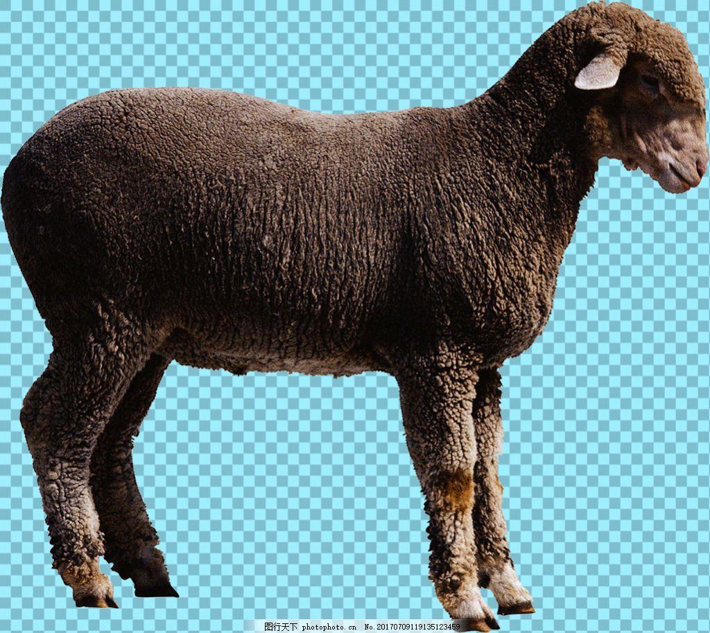 绵羊侧面图片免抠png透明图层素材