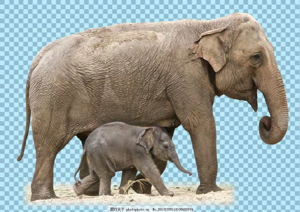 两只母子大象图片免抠png透明图层素材 野生动物 可爱动物图片