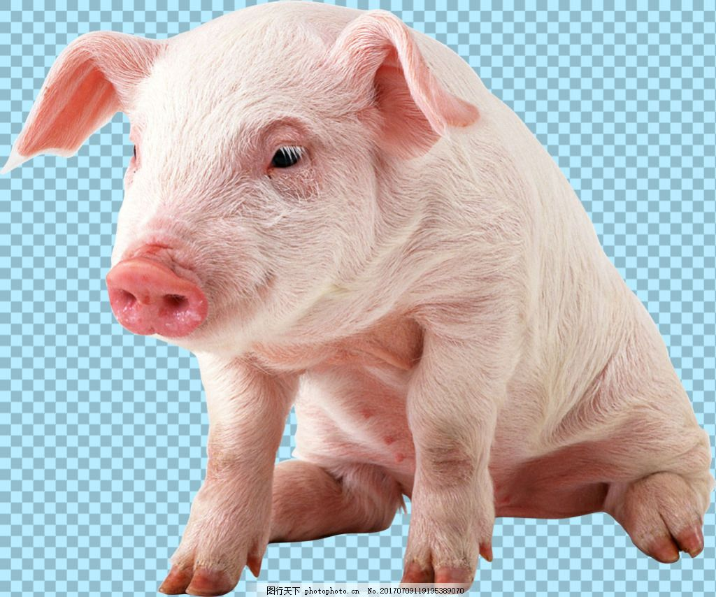 坐地上的猪免抠png透明图层素材 家畜动物 可爱动物图片 家禽