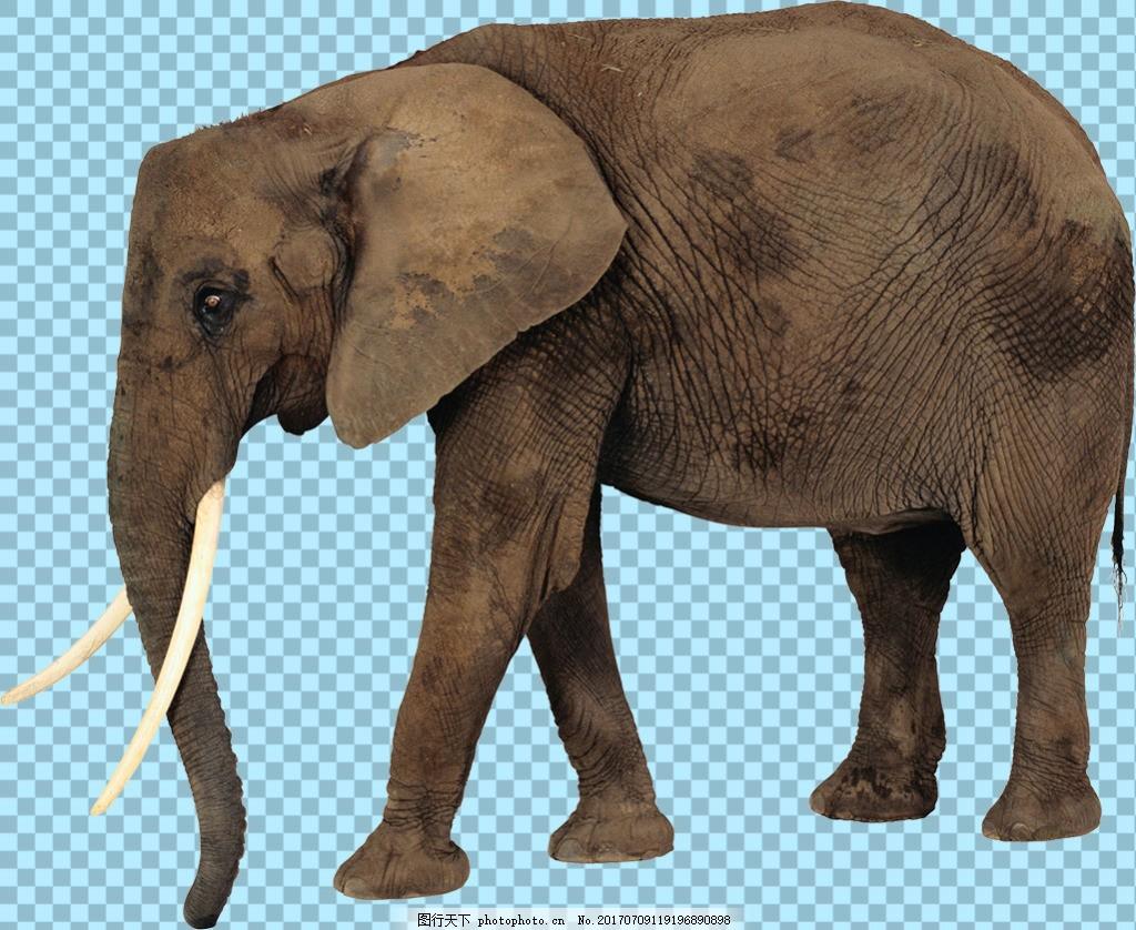 正在走的大象图片免抠png透明图层素材 野生动物 可爱动物图片