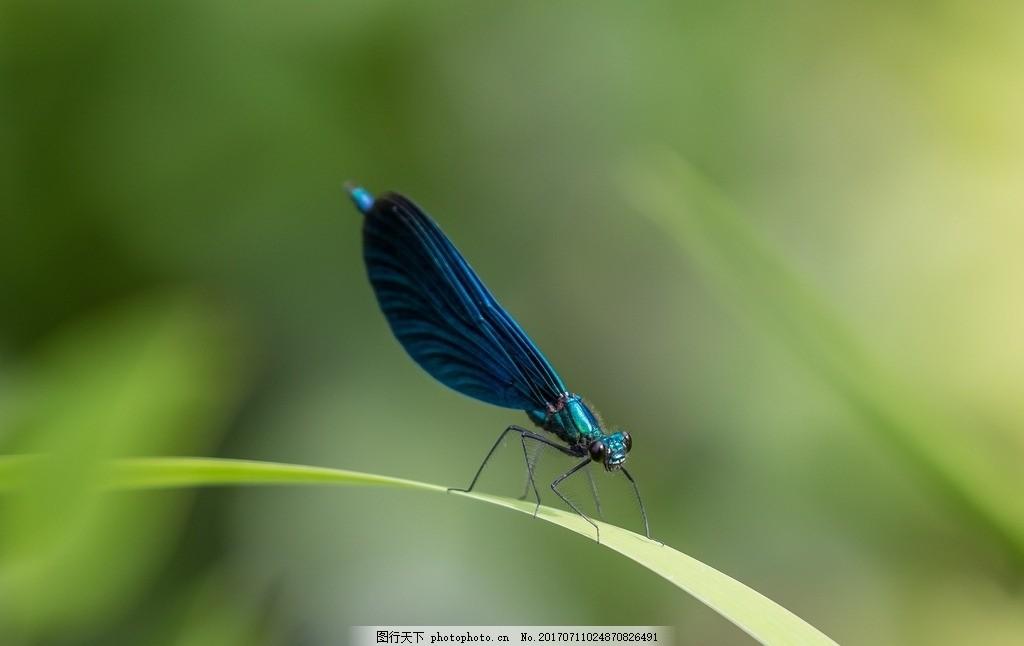 蜻蜓 小蜻蜓 蓝色蜻蜓 蓝蜻蜓 休息 停歇 节肢动物 翅膀 触角 叶子