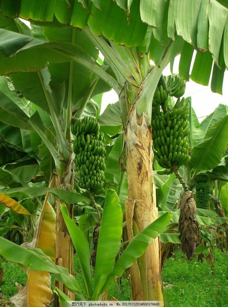 丰收的香蕉树 绿色的香蕉树 巴蕉树 大芭蕉树 香蕉树林 大丰收 香蕉