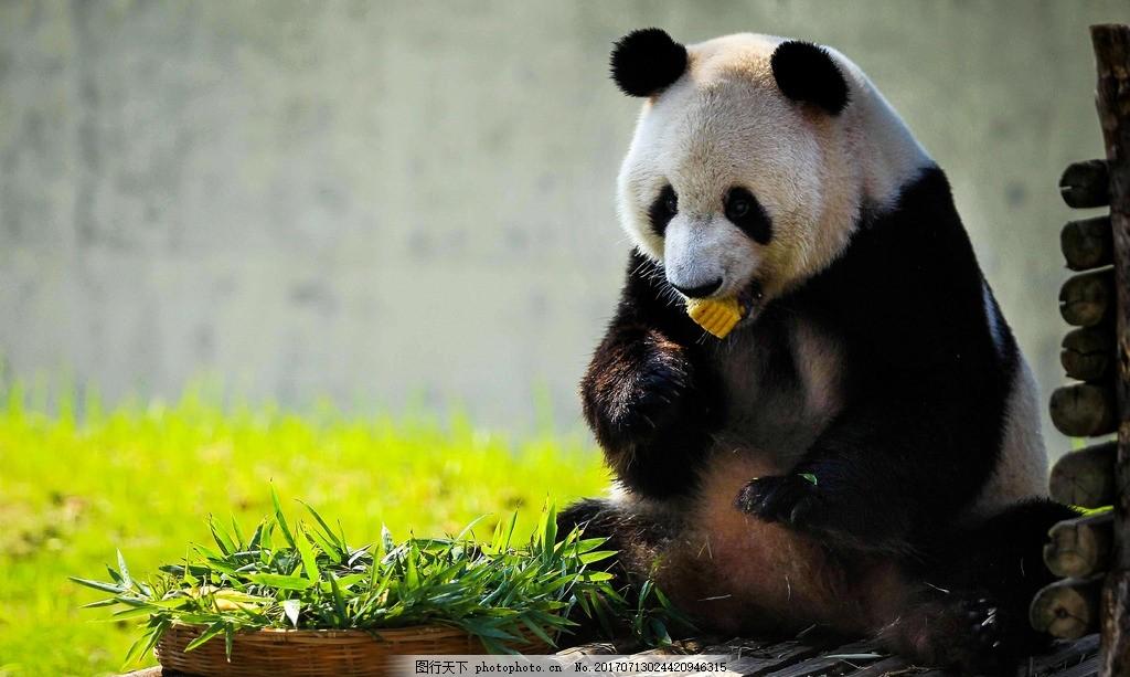 动物 熊猫 脊椎动物 食草动物 大熊猫 手机照片 摄影 生物世界 野生