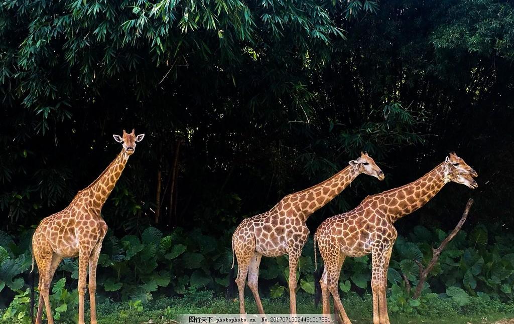 动物 长颈鹿 脊椎动物 食草动物 鹿科 手机照片 摄影 生物世界 野生