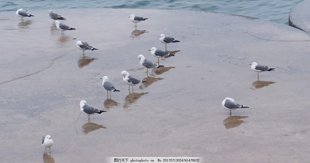 海鸥照片 海鸥照片素材 高清照片 画册图片 画册素材 动物照片摄影