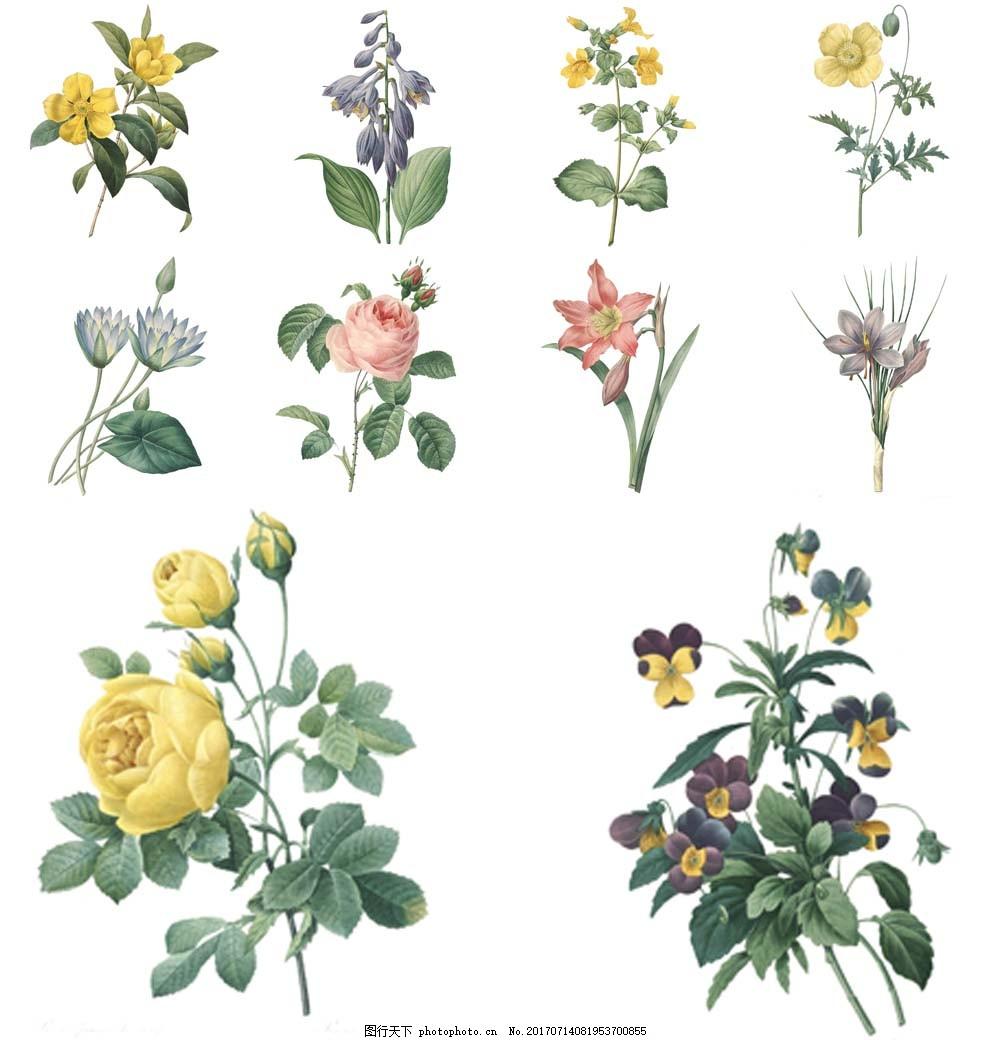 手绘复古植物插画 花朵 玫瑰花 叶子 黄玫瑰