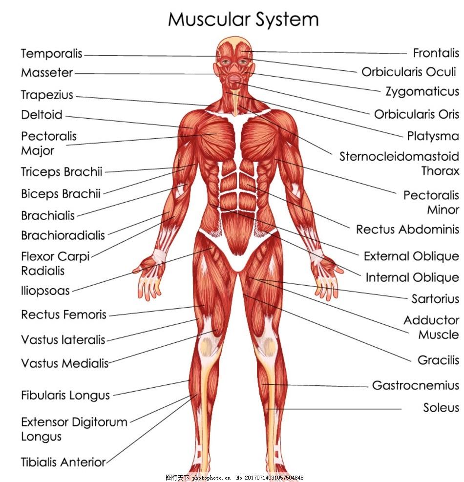 科医学研究人体解剖肠道消化道肠胃结构图 位图, cmyk格式高清大图