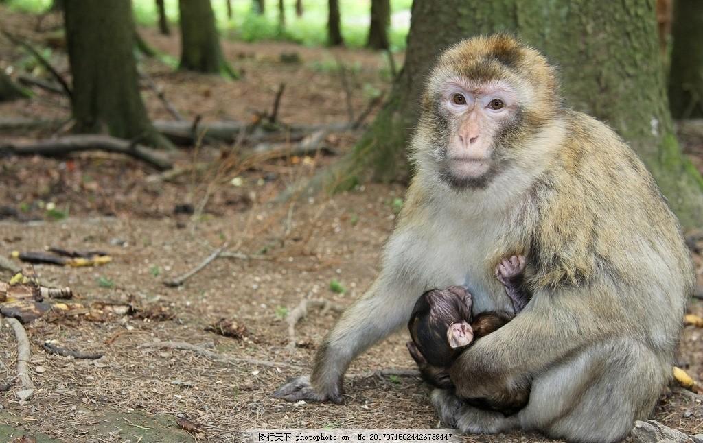 长臂猿 猴子 森林 性质 动物世界 户外 哺乳动物 野生 动物园