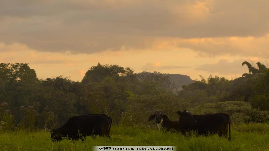 实拍水牛视频素材 视频背景 视频模版 动物 风景 黄昏