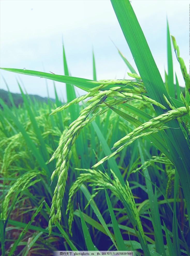 植物 绿意 稻谷 粮食 风景 摄影 自然景观 田园风光 96dpi jpg