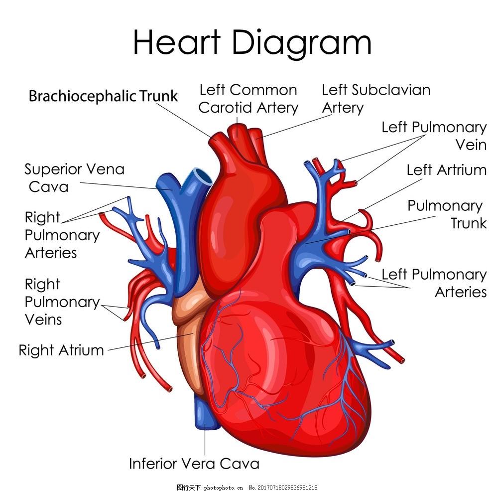 心脏切面结构图