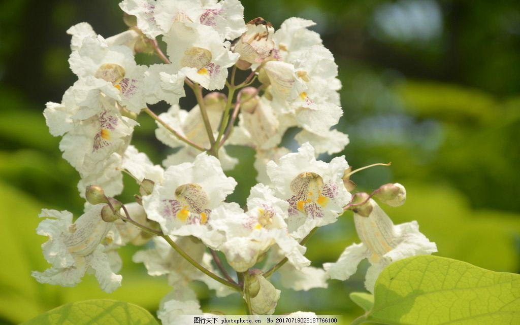 黄金树花 花卉 圆锥花序 顶生 花冠 白色 内有两条 黄色宽条纹
