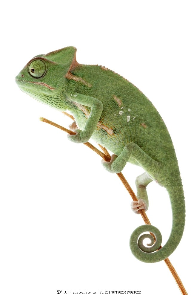 变色龙 蜥蜴 非洲变色龙 摄影 野生动物 其他生物