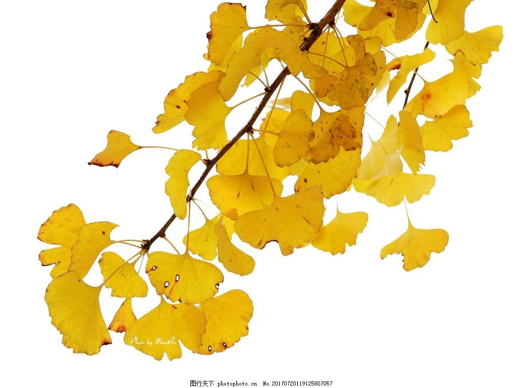黄色银杏树叶元素