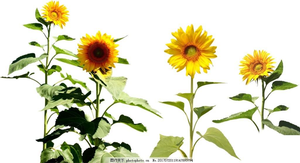手绘向日葵花朵元素 手绘 水墨 油画 绿叶 花枝 向日葵 png 免抠 素材