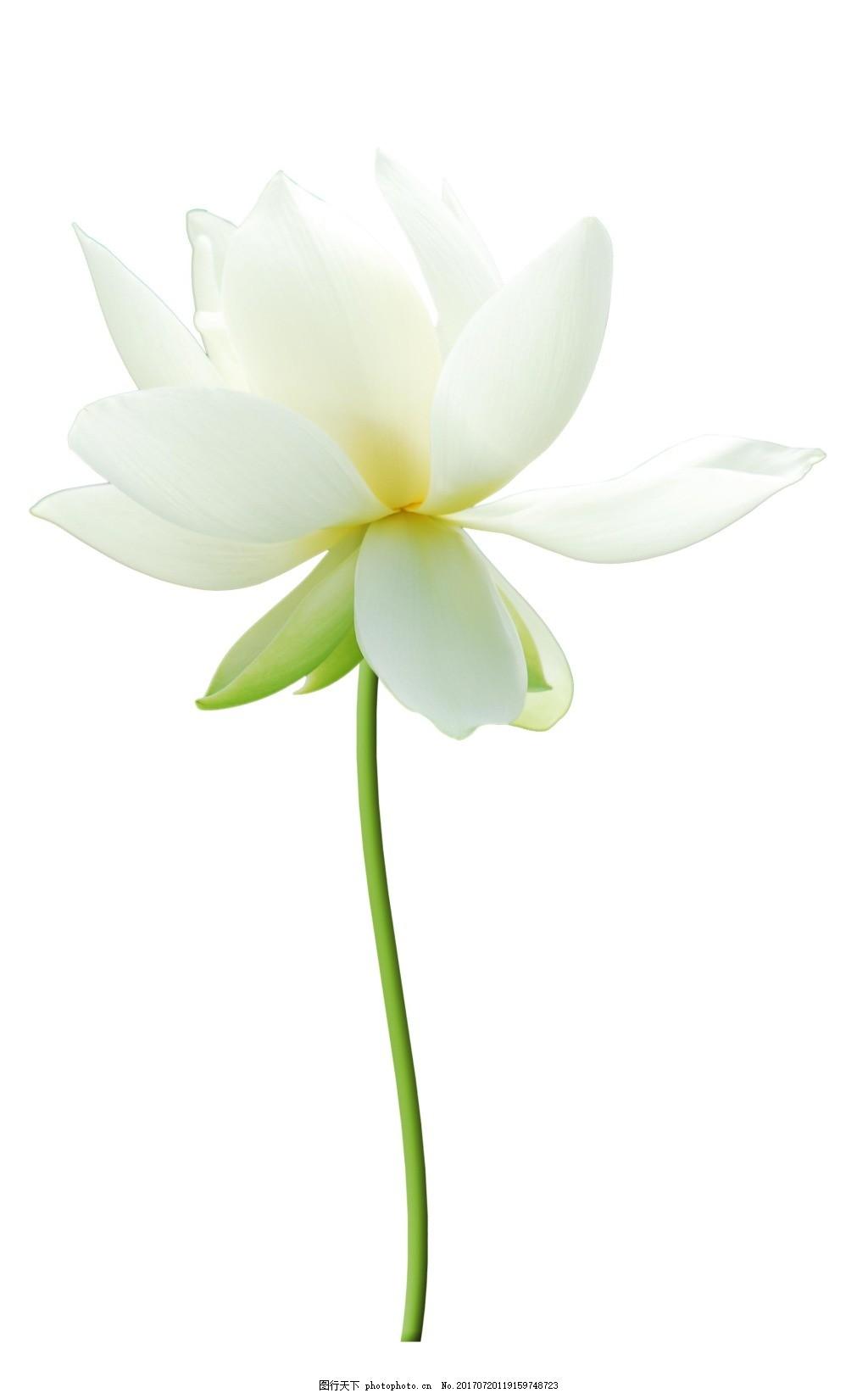 洁白纯真荷花元素 小清新 绿色花枝 白色荷花 免抠