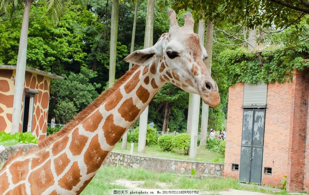 长颈鹿 长颈鹿头 长颈鹿吃草 动物园 哺乳动物 摄影 生物世界