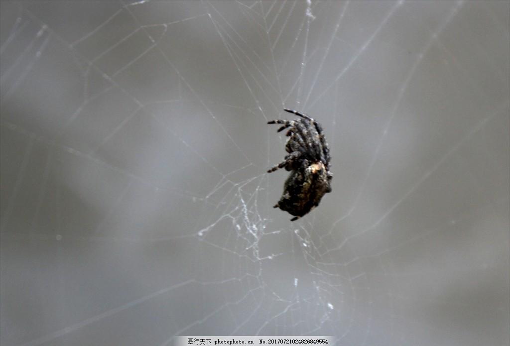 黑蛛 蜘蛛 蛛网 动物世界 小物种 观察 摄影
