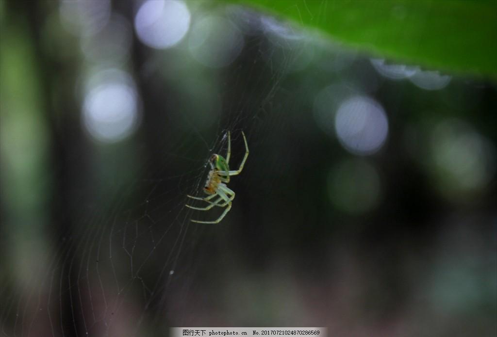 绿蛛 动物 生物 大自然 蛛网 蜘蛛 摄影