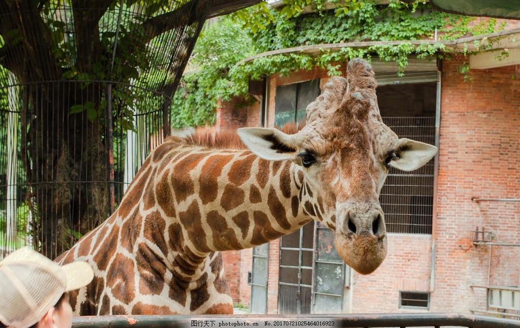 长颈鹿 长颈鹿头 长颈鹿吃草 动物园 哺乳动物 摄影 其他生物