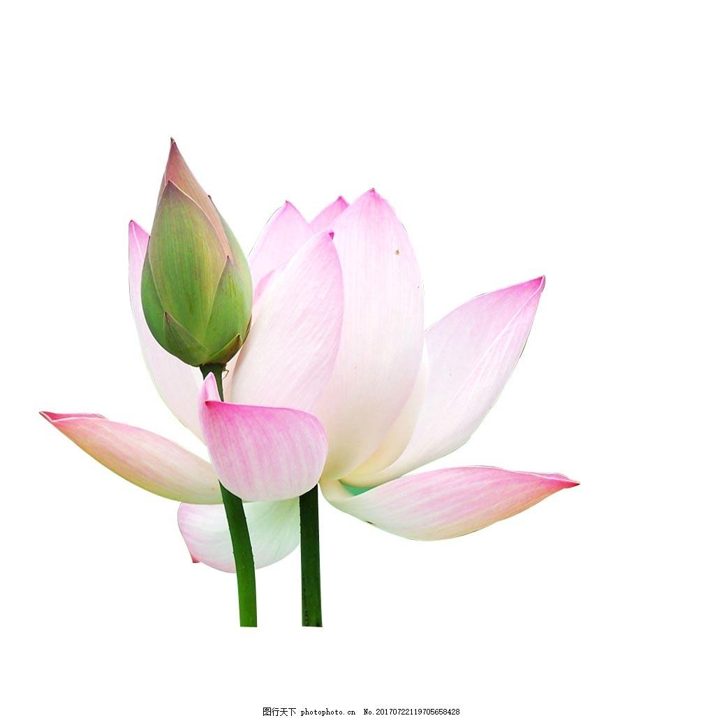 手绘粉色荷花元素 手绘 小清新 纯美 粉色渐变 荷花 花苞 png 免抠