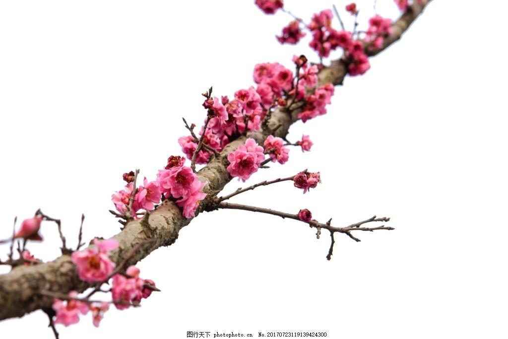 玫红花朵树枝元素 小清新 树枝 树干 花朵 玫红花朵 png 免抠 素材