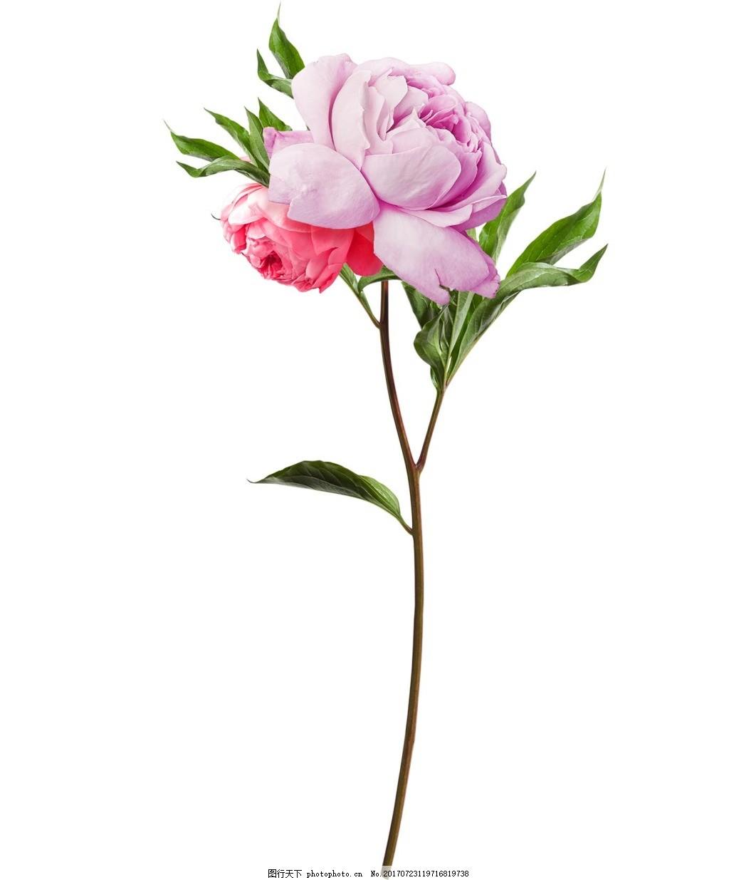 手绘粉色花朵元素 手绘 小清新 水彩 月季 树枝 花朵 png 免抠 素材 p