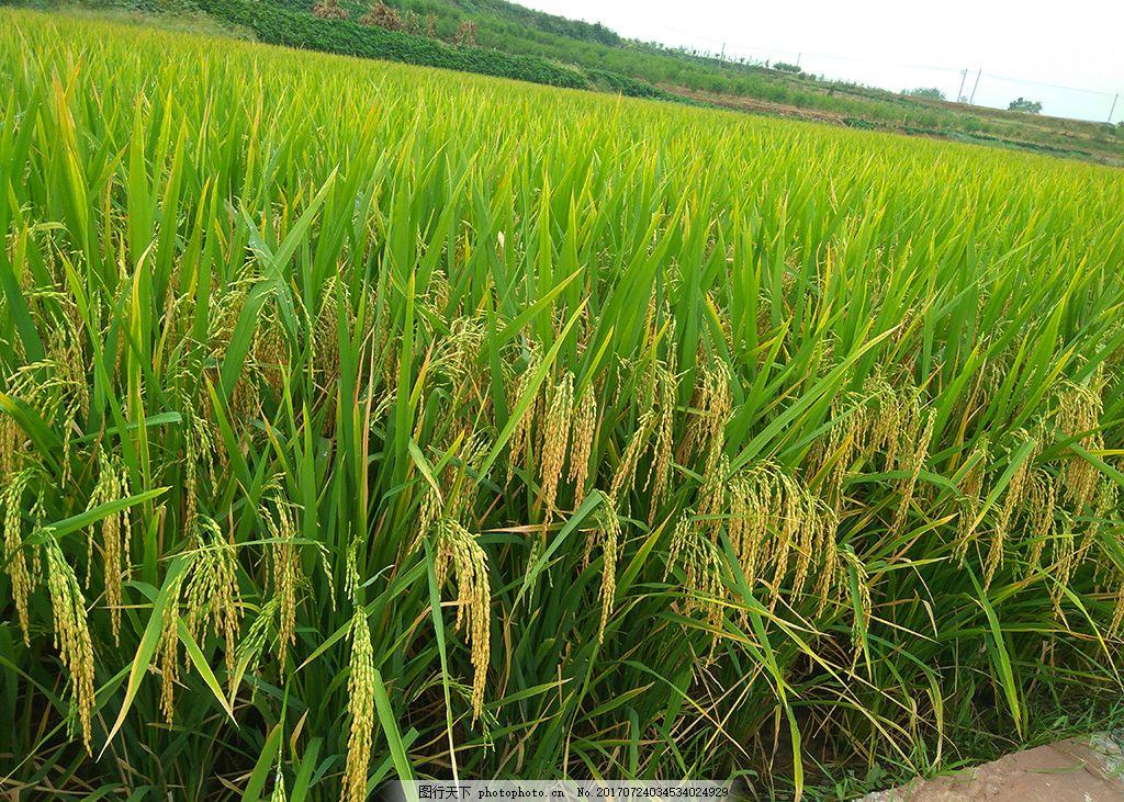 秋天的稻子 水稻 稻田 田野 秋天 丰收的季节 摄影 自然景观 田园风光