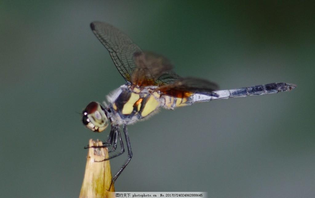 蜻蜓 昆虫 冷色背景 动物 蜻蜓特写 摄影 生物世界 昆虫 300dpi jpg