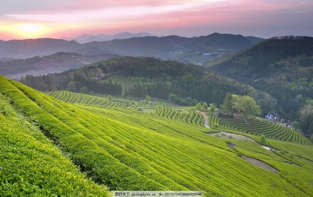 山坡 茶山茶园 茶山 茶园 山上 山 摄影 自然景观 山水风景 72dpi jpg