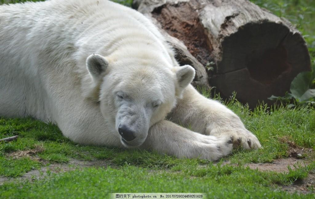 可爱北极熊 白色熊 大熊 北极熊 休息 睡觉 休憩 可爱动物 可爱熊