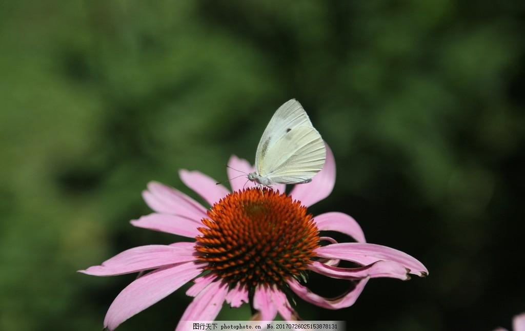 蝴蝶自来 风景 植物 花 绿叶 花朵 美丽 蝴蝶 生物世界 摄影 生物世界