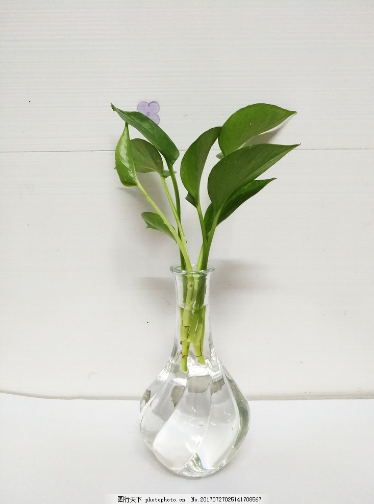 绿萝 植物 瓶子 玻璃瓶子 摆件 摄影图片