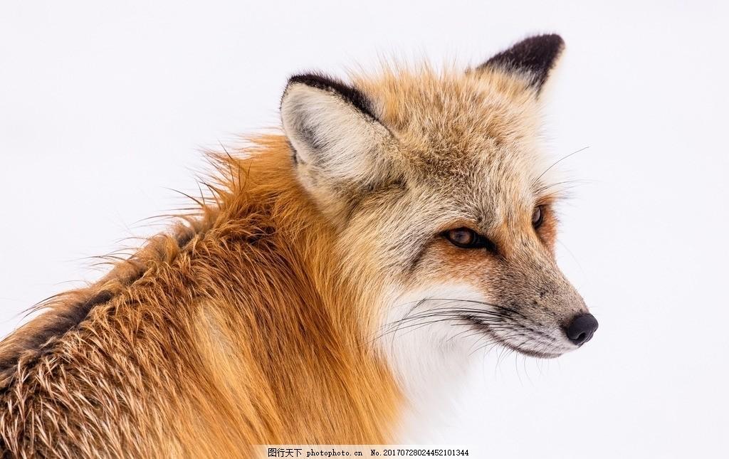 狐狸 动物 狡猾 凝视 守候 摄影 生物世界 野生动物 300dpi jpg
