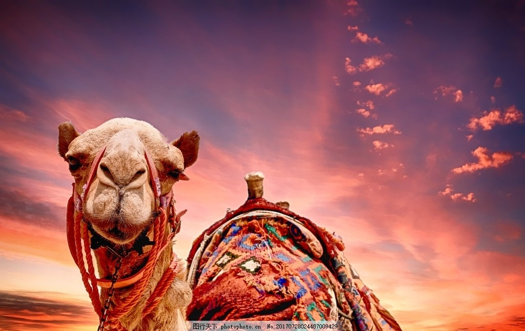 骆驼 火烧云 夕阳 沙漠 动物 摄影 生物世界 野生动物 300dpi jpg