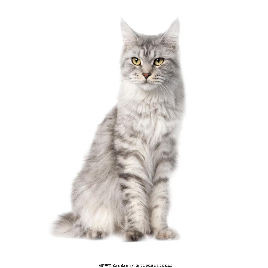 黑白猫咪png免扣元素 猫咪 猫 花猫 可爱 动物 宠物 png 透明 免扣