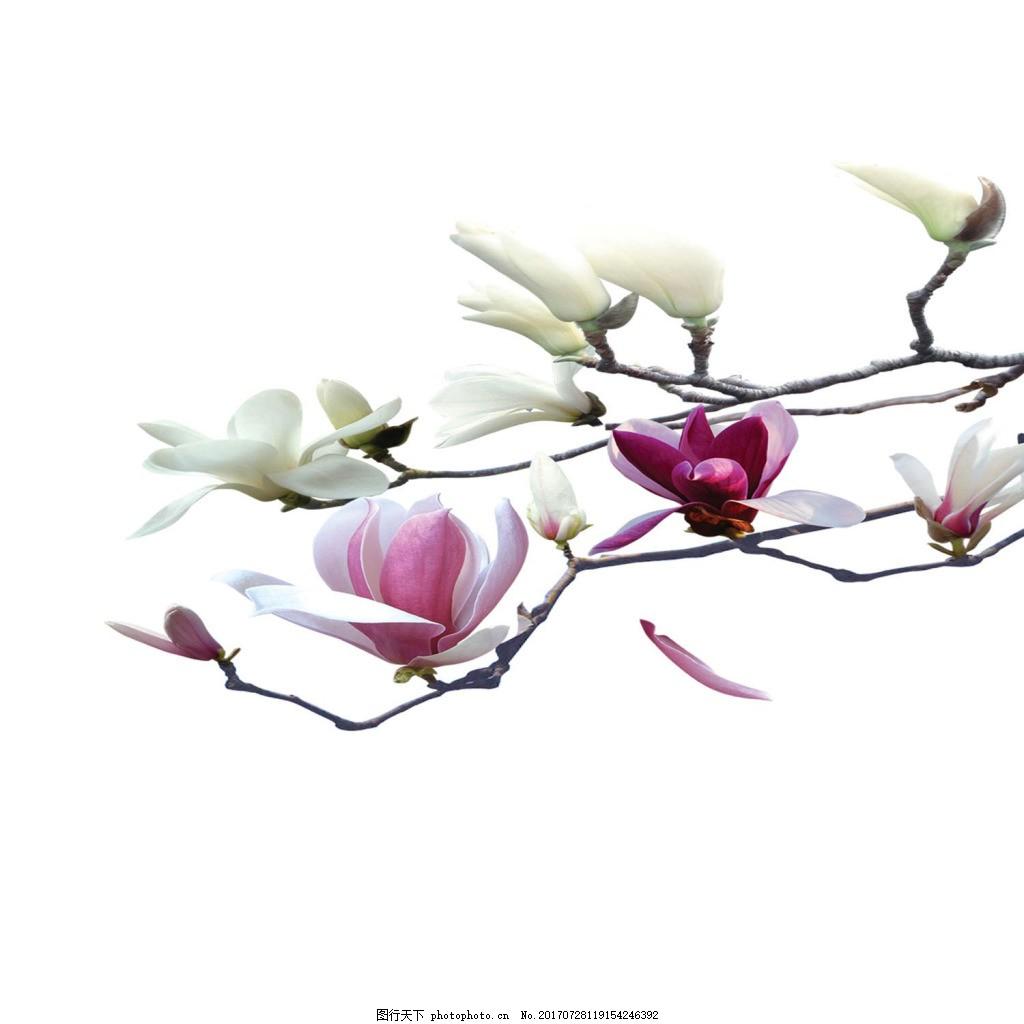 玉兰花png免扣元素 花朵 唯美 花枝 透明