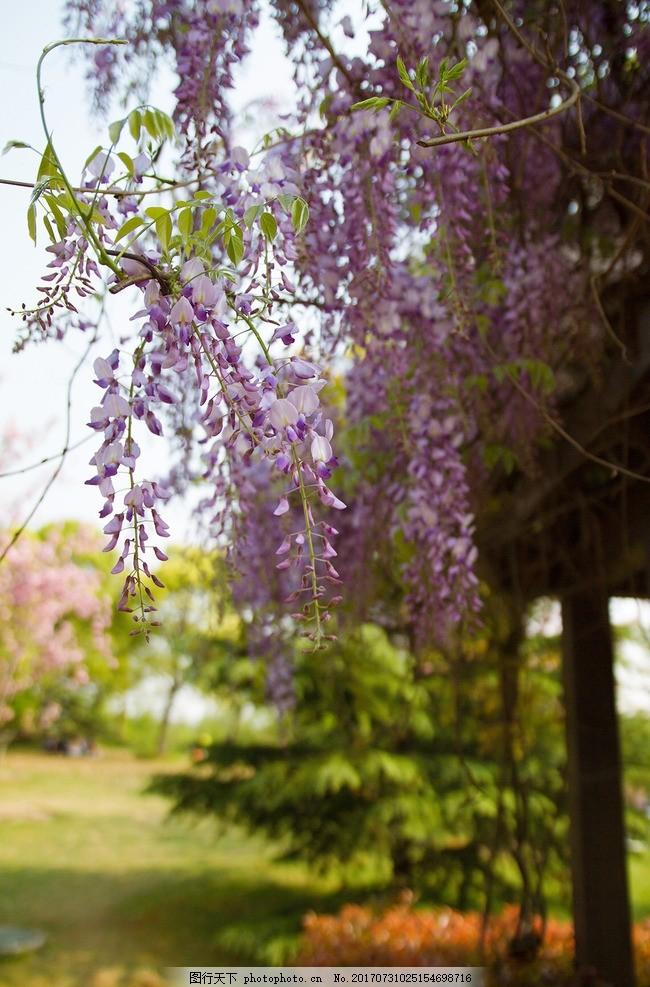 紫藤萝 藤萝花 漂亮的藤萝 漂亮的紫藤 摄影